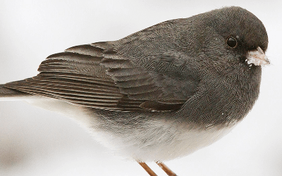 Cover art for Episode 13: Junco in the Trunko and Citizen Science