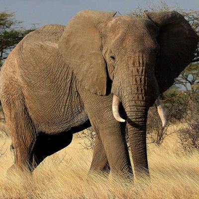 Cover art for Africa's Savanna Elephants in Trouble