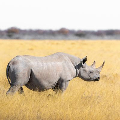 Cover art for Rhino conservation in a time of crisis