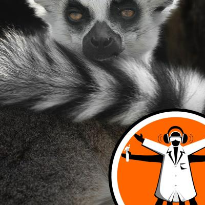 Cover art for Are ring-tailed lemurs sniffing out a date?