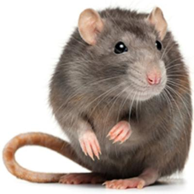 Cover art for Rats