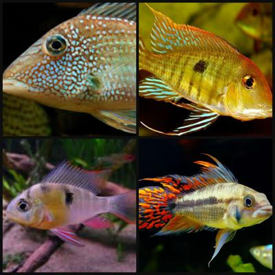 Cover art for South American Cichlids Part 2: Acaras, Geophagus, and Dwarf Cichlids