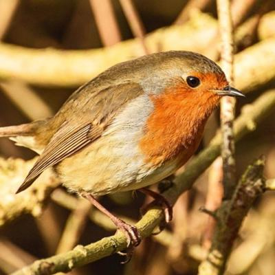 Cover art for LeicesterSounds #2 - Roger The Robin, Aylestone Meadows, 6th January 2018