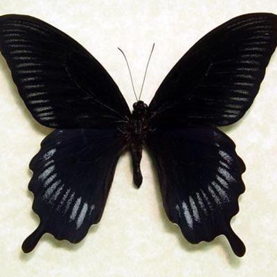 Black Butterfly in Effect