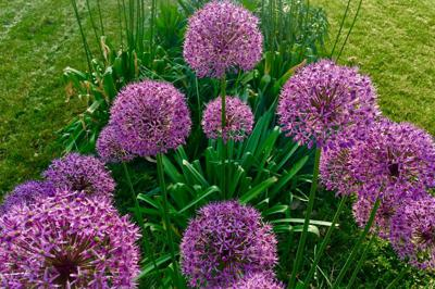 Planning Ahead for Summer Alliums