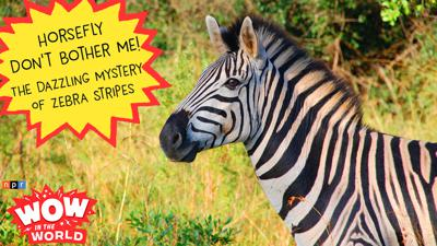 Cover art for Horsefly Don't Bother Me! - The Dazzling Mystery Of Zebra Stripes