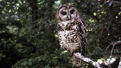 Cover art for The Spotted Owl