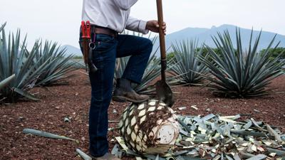Cover art for The Tequila Boom And Agave Bust