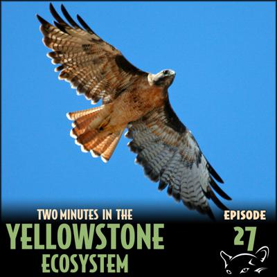 Cover art for Episode 27: Red-Tailed Hawks