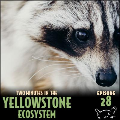 Cover art for Episode 28: Raccoons and Rabies