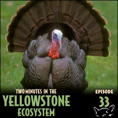 Cover art for Episode 33: Wild Turkeys
