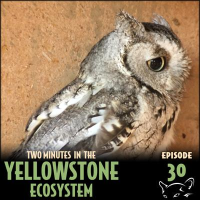 Cover art for Episode 30: Western Screech Owl