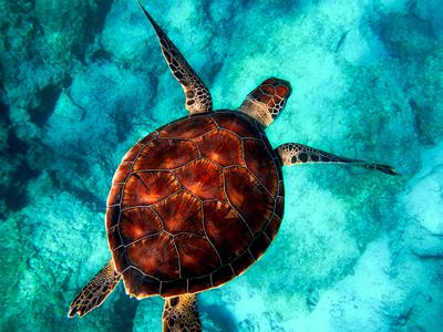 Cover art for Green sea turtle