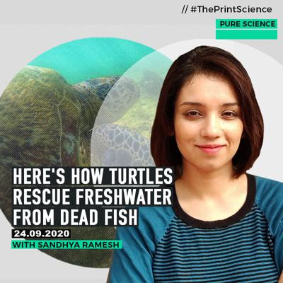 Cover art for PureScience: How scavenging by turtles rescue river waters that are becoming toxic from masses of dead fish