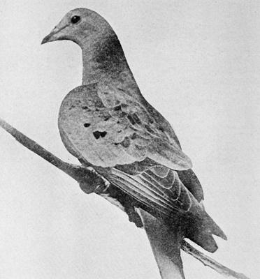 Cover art for Episode 6 - The Passenger Pigeon