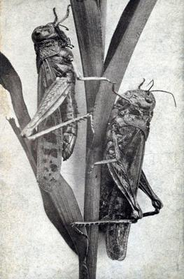 Cover art for Episode 9 - The Rocky Mountain Locust