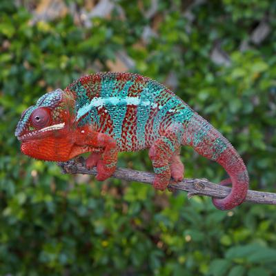 Cover art for Panther Chameleon Care Summary